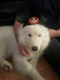 A white samoyed dog wearing Mickey Mouse ears.